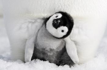 皇帝ペンギンただいま c.jpg